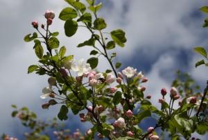 Omenapuun kukat